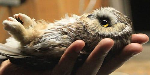 к чему снится сова в руках