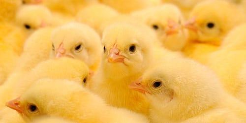 много цыплят