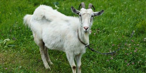видеть во сне белую козу