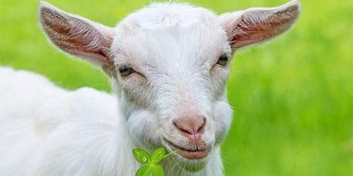 к чему снится белая коза