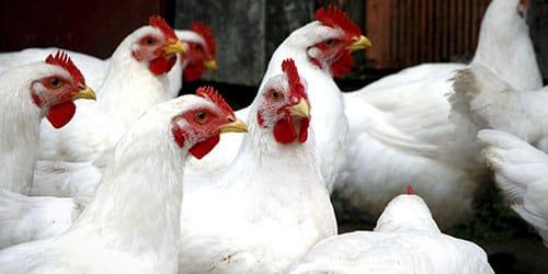 видеть во сне белую курицу