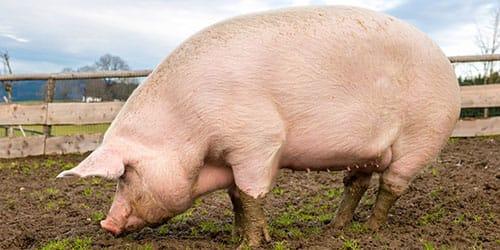 видеть во сне большую свинью