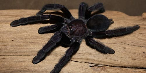 к чему снится черный паук