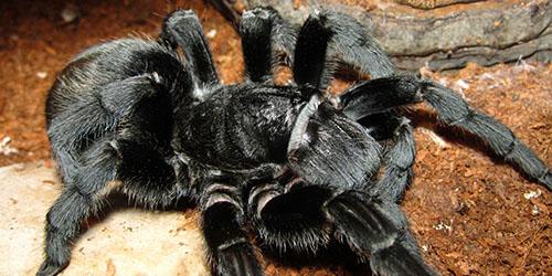 к чему снится большой черный паук