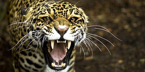 агрессивный зверь