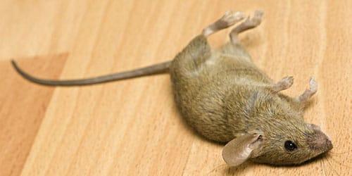 видеть во сне дохлую мышь