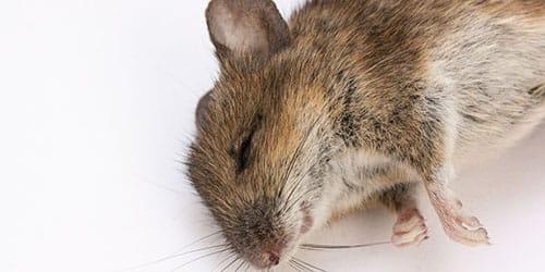 к чему снится дохлая мышь