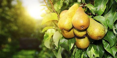 к чему снятся груши на дереве