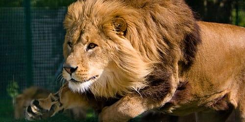 лев нападает во сне