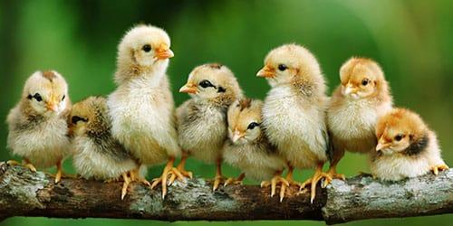 маленькие цыплята во сне