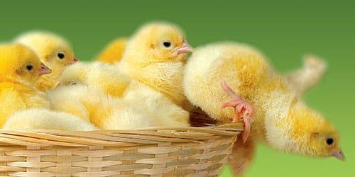 к чему снятся маленькие цыплята