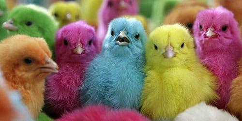 разноцветные птенцы