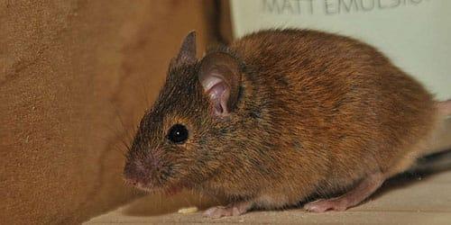 Сонник много мышей во сне