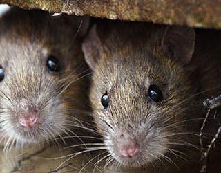 К чему снятся мыши в доме?