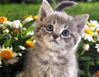 Серый котенок