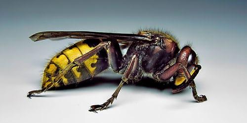 насекомое с жалом