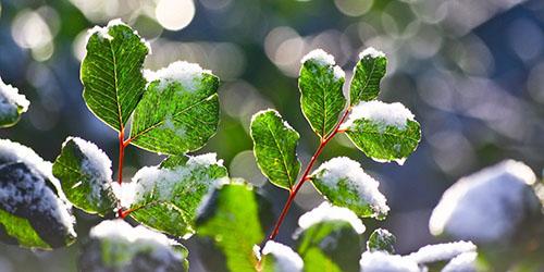 листва в снегу
