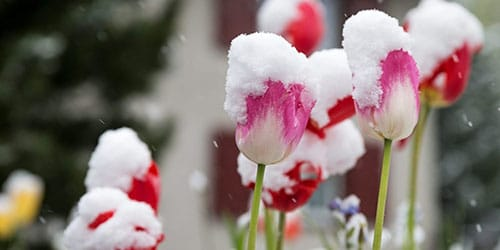 кветкі ў снезе