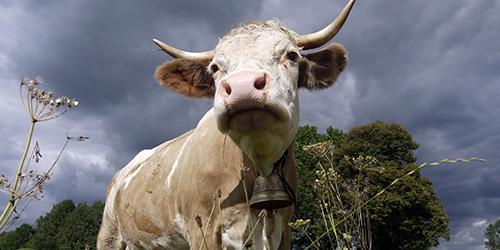 Приснилось зарезать корову во сне