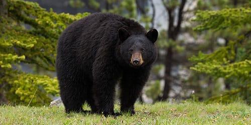 видеть во сне черного медведя