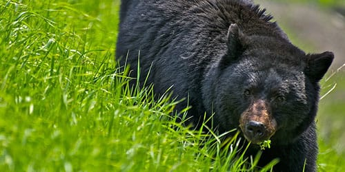 к чему снится черный медведь
