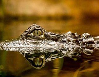 Сонник много крокодилов