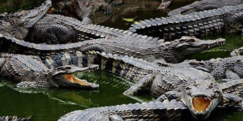 видеть много крокодилов во сне