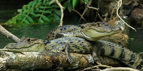 к чему снится много крокодилов