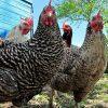 видеть во сне много куриц