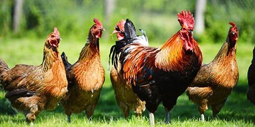 к чему снится много куриц