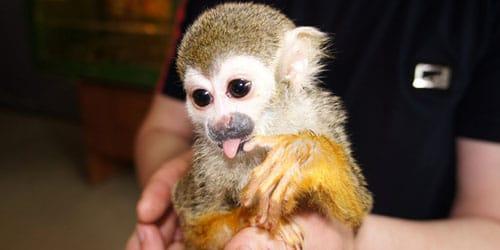 видеть во сне обезьяну на руках