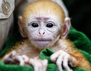 К чему снится обезьяна на руках?