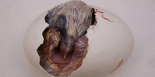 птичий эмбрион