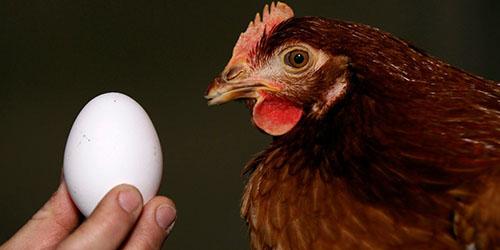 приснилась курица с яйцом