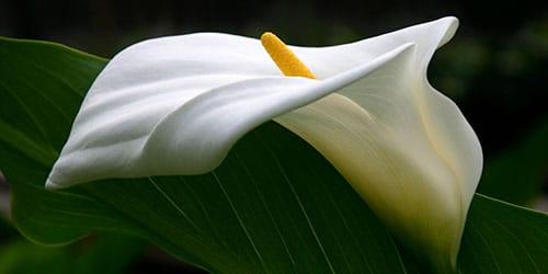 видеть во сне цветок калла
