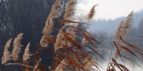 сухой тростник