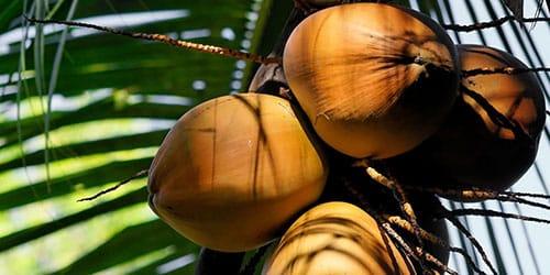 Сонник кокос к чему снится кокос во сне
