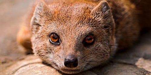 видеть во сне мангуста