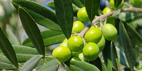 видеть во сне оливки