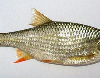 Рыбья чешуя