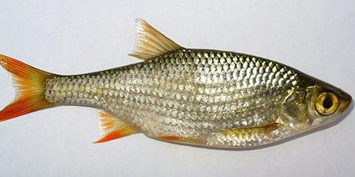 к чему снится рыбья чешуя