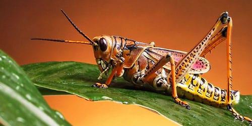 прямокрылое насекомое