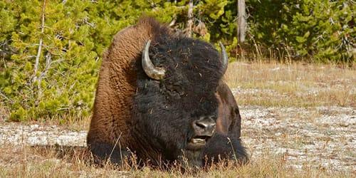 большой бык