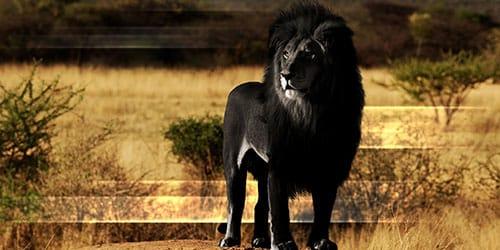видеть во сне черного льва