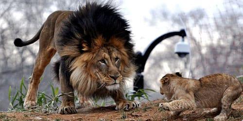 к чему снится черный лев