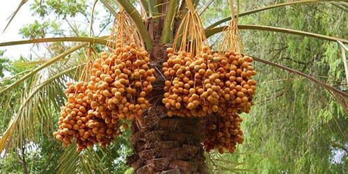 видеть во сне финики на пальме