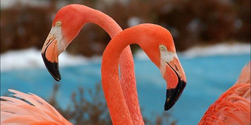 к чему снится пара фламинго