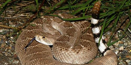 видеть во сне хвост гремучей змеи