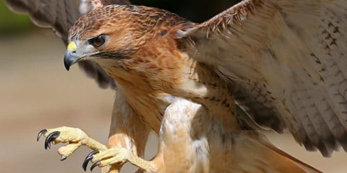 хищная птица