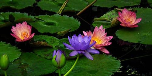 цветущий водоем